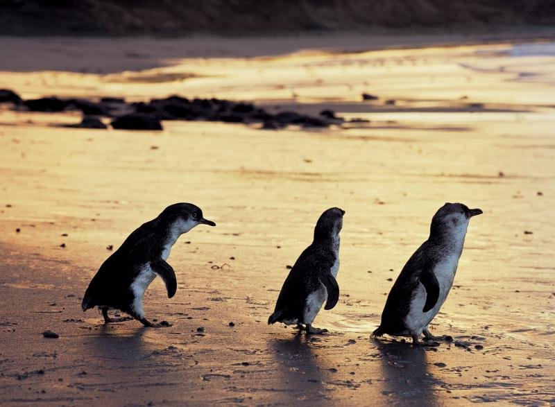 Ramada Resort Phillip Island  Tiere